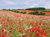 A field of poppies on the Cotswolds at Syreford, near Andoversford, Gloucestershire