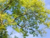 Looking up into an ash tree in the Gloucestershire Cotswolds