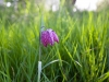 Snakes Head Fritillary at North Meadow, Cricklade National Nature Reserve, Cricklade, Wiltshire