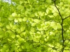 Fresh beech leaves in a springtime woodland at Friday Street, Surrey