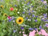 Summer flowers in a Hampshire cottage garden