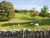 Sheep grazing the fields beside the Cotswold village of Notgrove, Gloucestershire