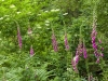 Wild foxgloves flowering in the Forest of Dean near Hewelsfield, Gloucestershire, UK