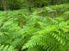 Ferns and foxgloves in the Forest of Dean at Nagshead, Gloucestershire, UK