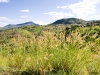 Flowering grasses in the Kirk Range east of Dedza, Malawi, Africa