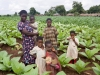 Family with their young tobacco and maize plants growing during the rainy season in the village of Mombala (Mambala), Malawi, Africa