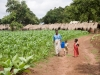 Young tobacco and maize plants growing during the rainy season in the village of Mombala (Mambala), Malawi, Africa