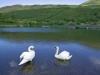 Swans on Tal-y-Llyn Lake, Gwynedd, North Wales