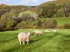 Autumn on Exmoor - sheep grazing at Oare, Somerset