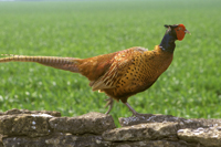 Pheasant on a dry stone wall