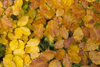 Cotswold beech leaves in autumn