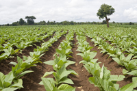 Tobacco growing at Mombala